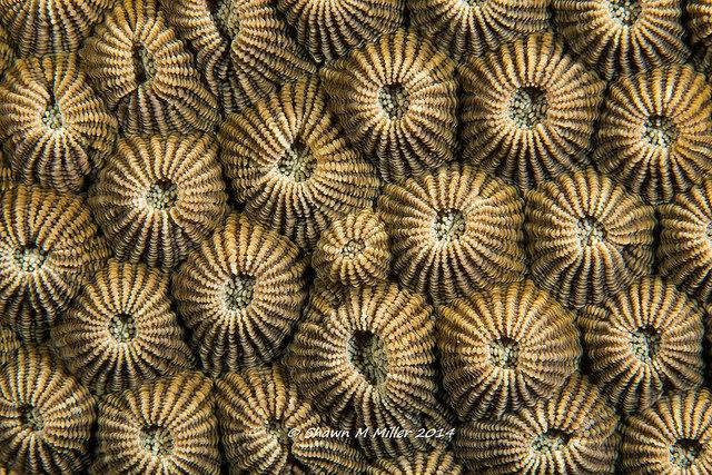 Honeycomb coral (Diploastrea heliopora) Okinawa- Japan