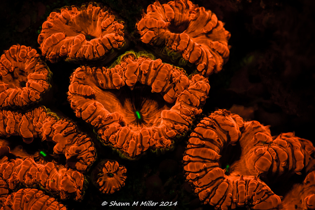 Bio fluorescense - Coral of Okinawa, Japan
