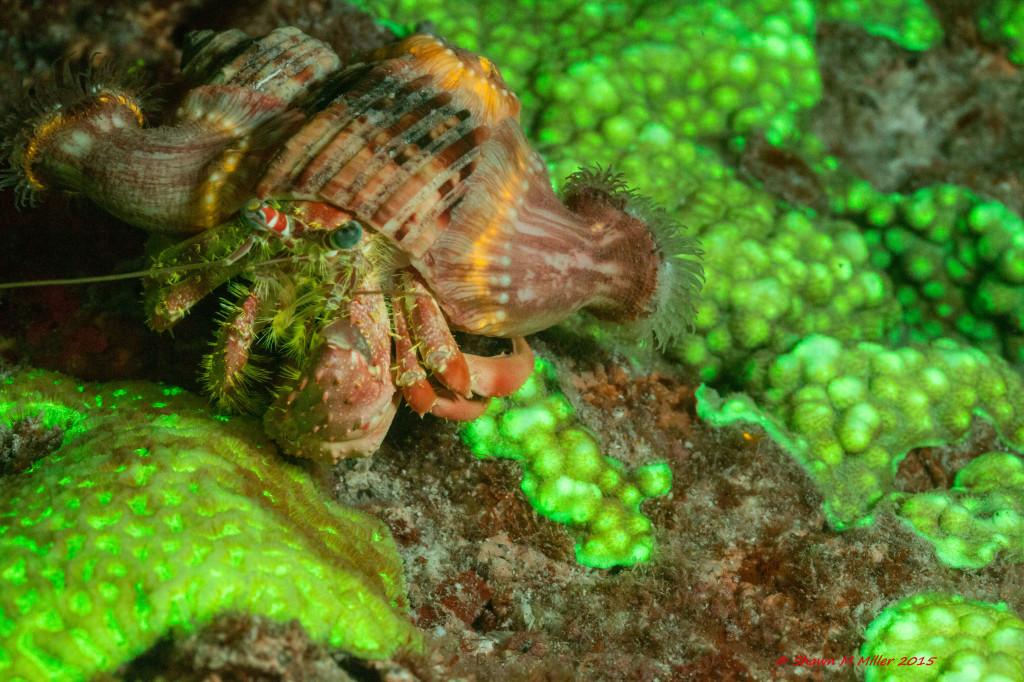 Anemone hermit crab (Dardanus pedunculatus)