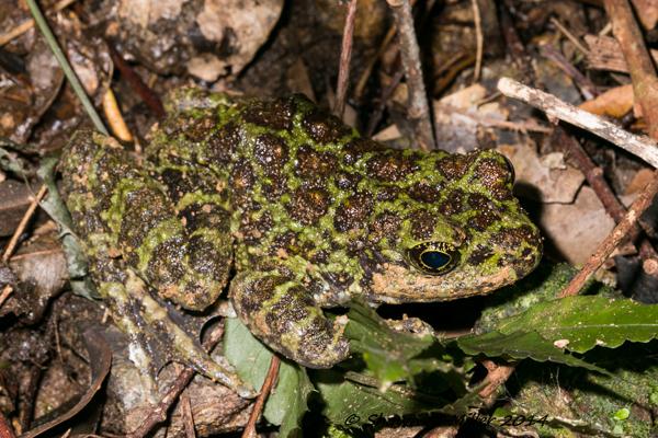 ishikawa's Frog (Odorrana ishikawae) Yanbaru forest ,Okinawa
