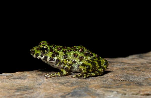 shikawa's Frog (Odorrana ishikawae) Yanbaru forest ,Okinawa