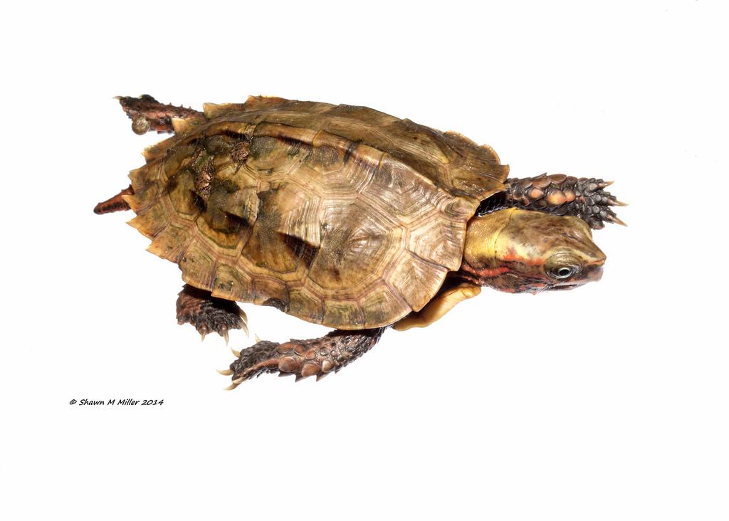 Ryukyu Black-breasted Leaf Turtle, Ryukyu Leaf Turtle ( Geoemyda japonica Fan, 1931 )
