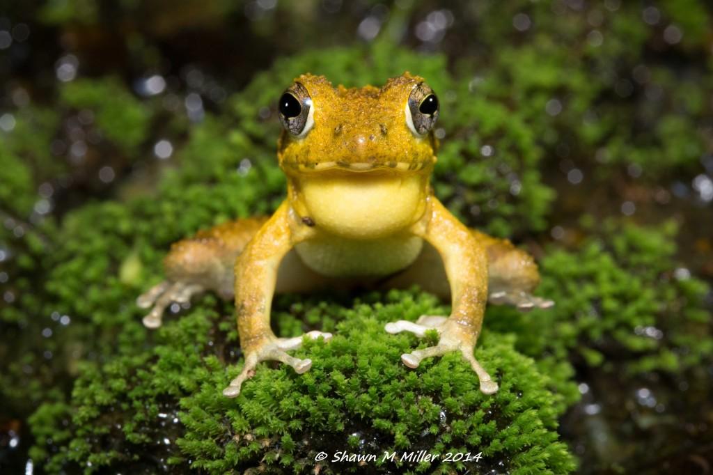 okinawa frog