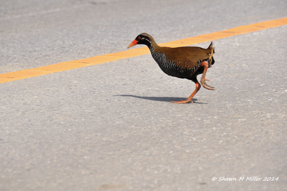 Okinawa rail crossing the road