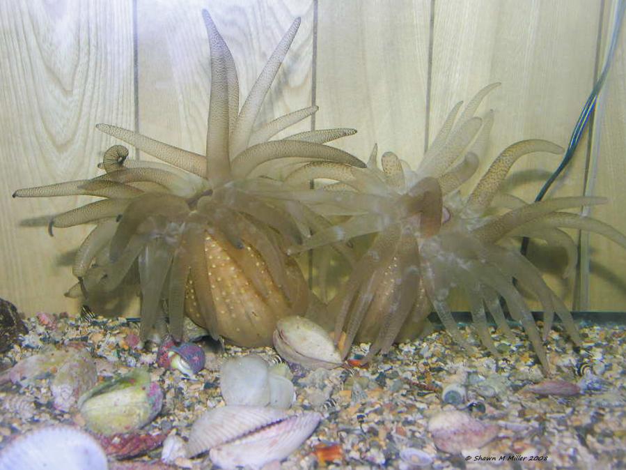 Sea anenome (Dofleinia armata)