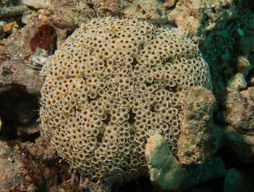 Flower urchin (Toxopneustes pileolus)