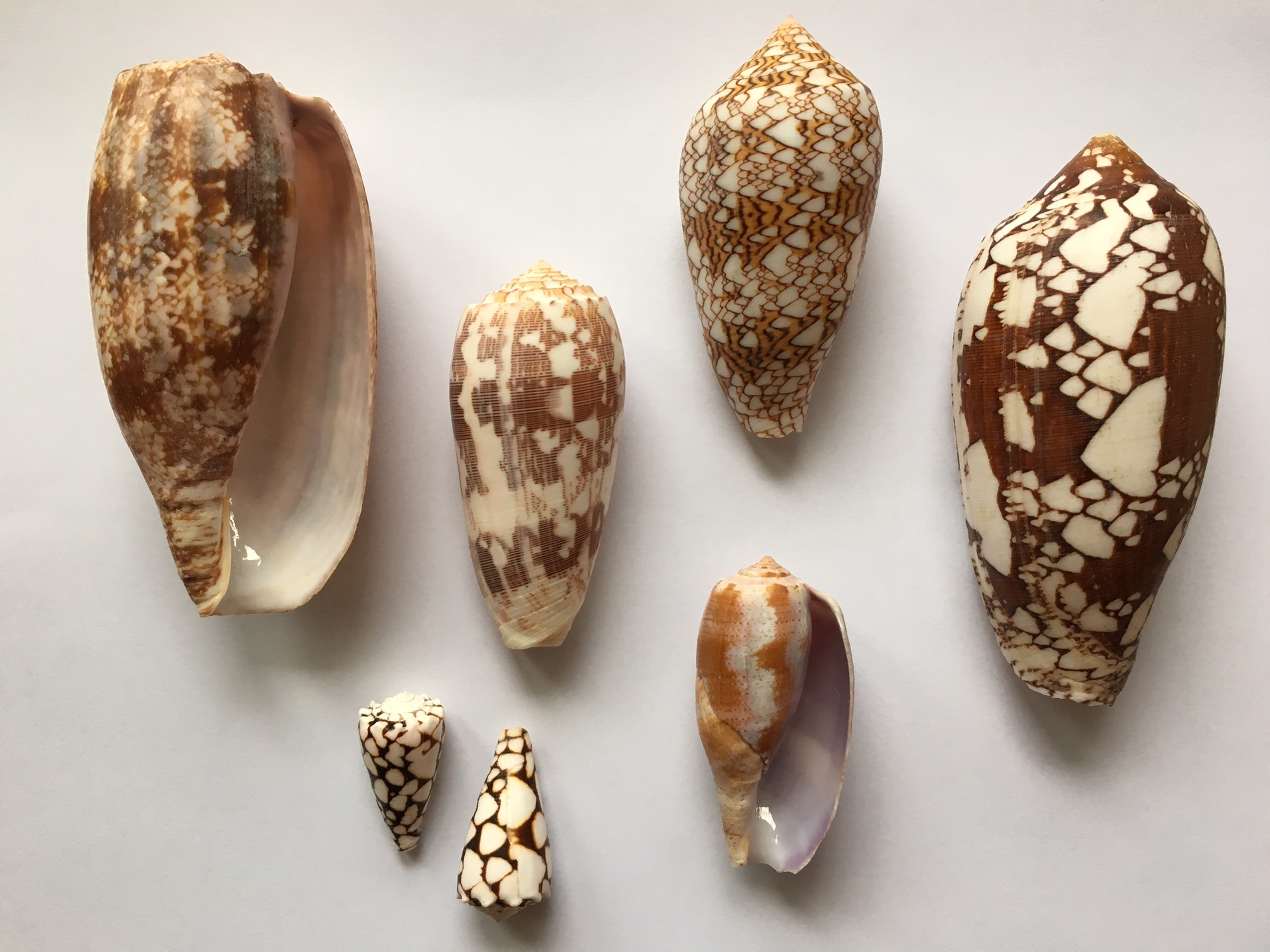 Venomous cones shells of Okinawa
