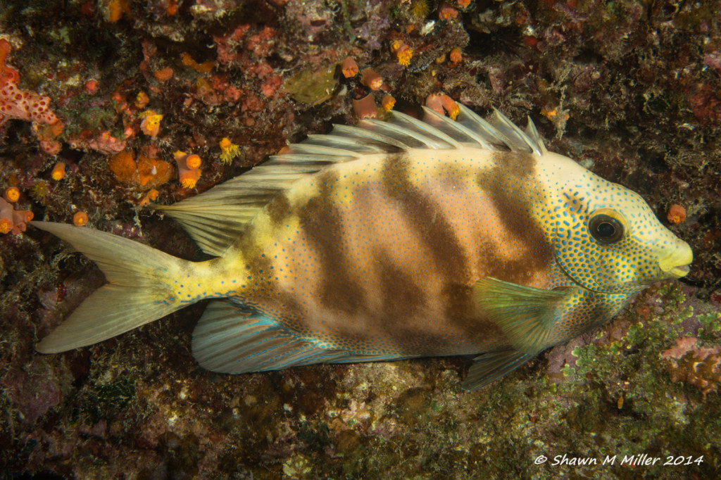 Coral Rabbitfish (Siganus corallines)