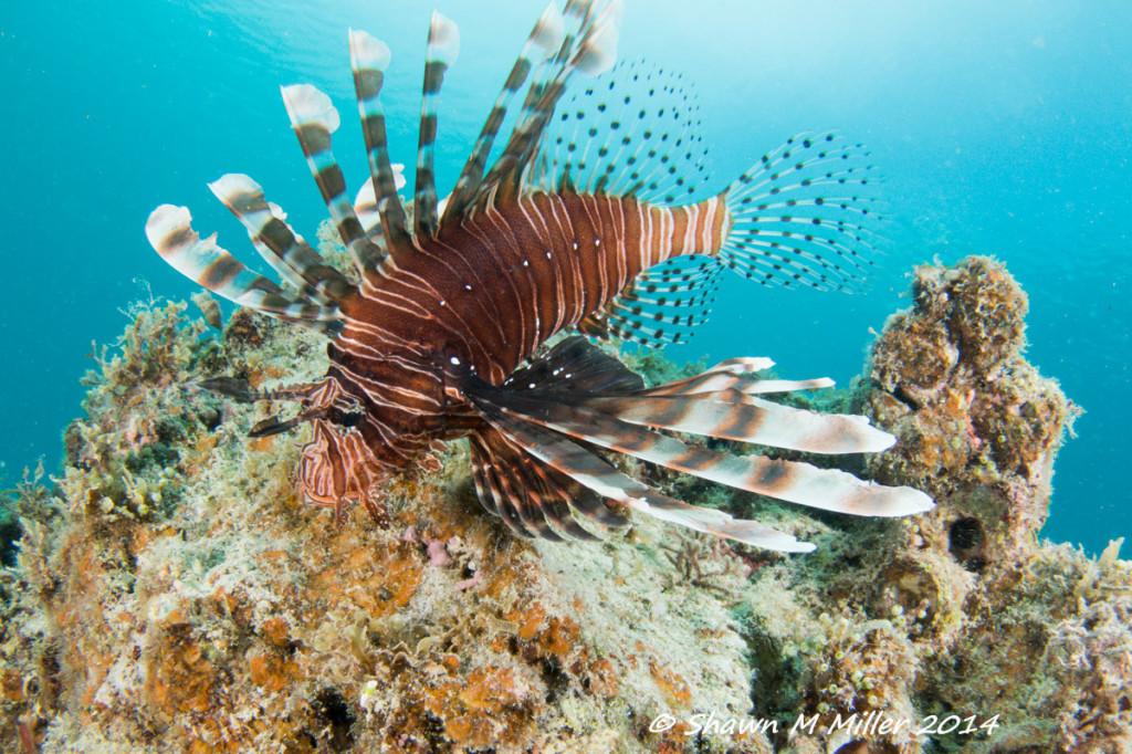 Lion fish ( Pterois volitans)