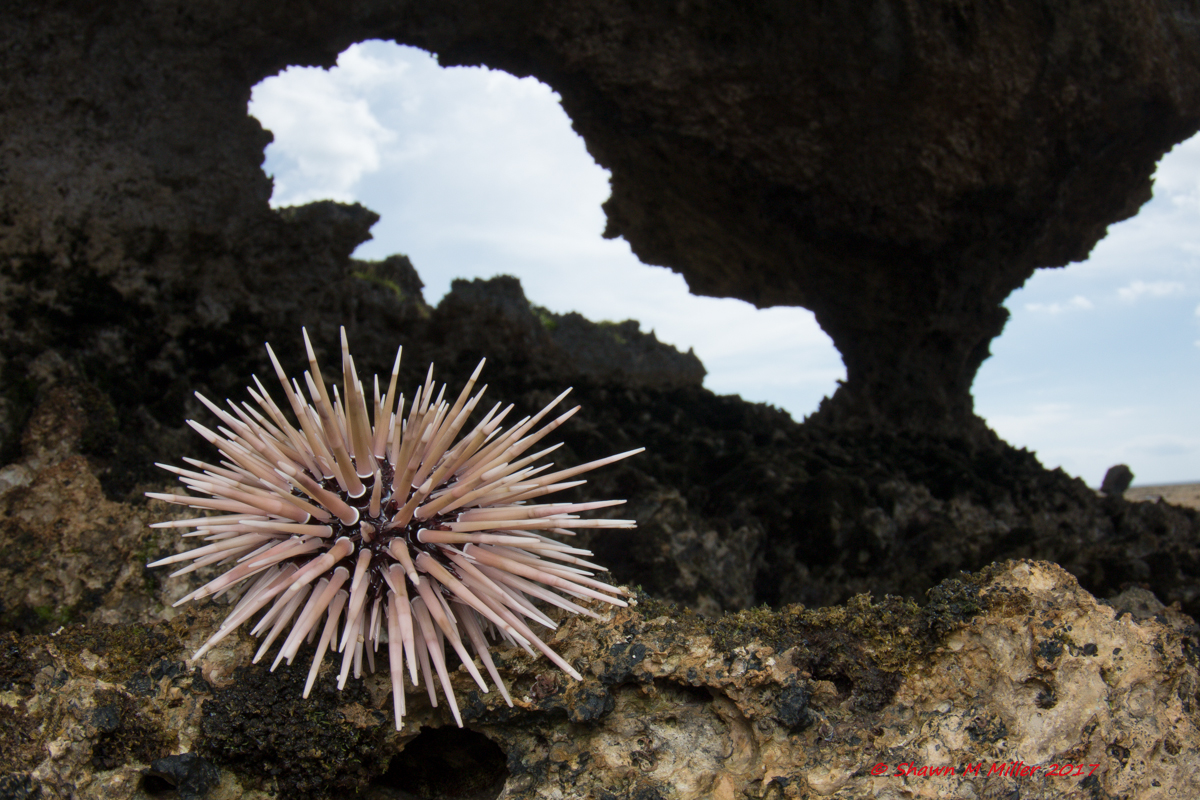 Burrowing sea urchin (Echinometra mathaei)