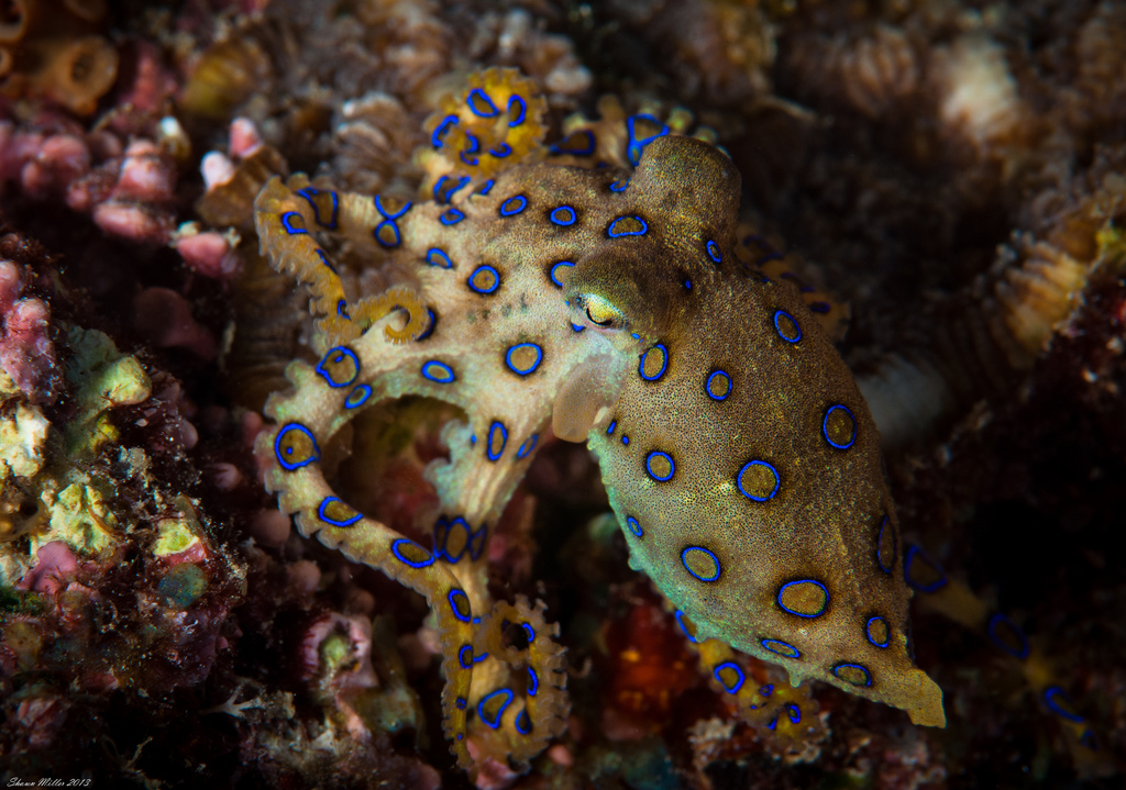 Blue Ringed Octopus (Hapalochlaena lunulata)