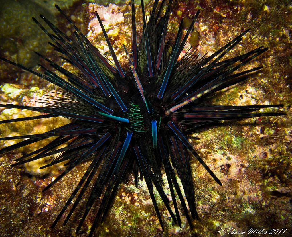 The diadema urchin (Echinothrix diadema)