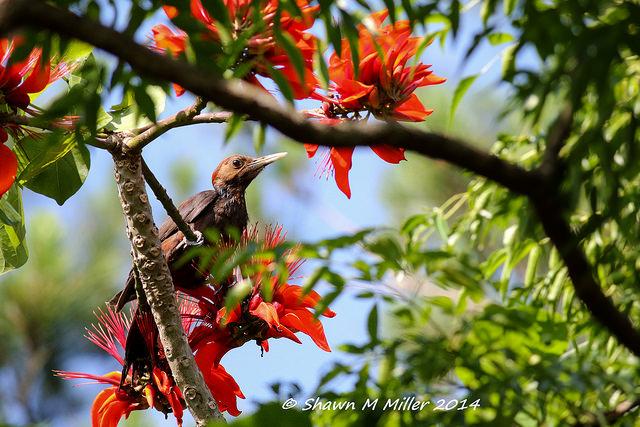 Pryer's woodpecker  (Sapheopipo Noguchii)  Yanbaru forest