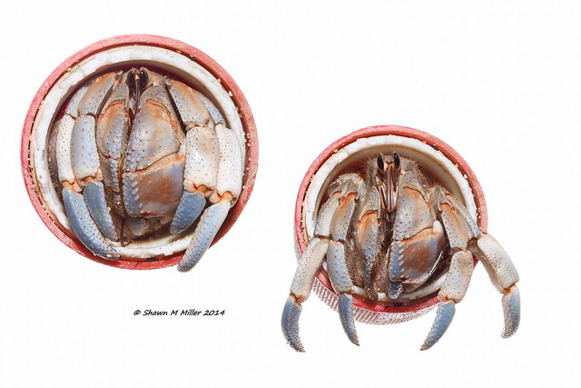 Blueberry hermit crabs (Coenobita purpureus)