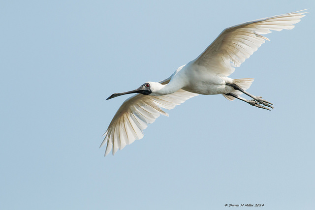 The Black Faced Spoonbill (Platalea minor).