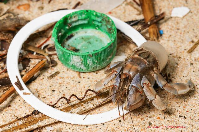 erry hermit crab, Okuma-Okinawa