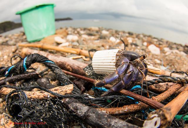 Blueberry hermit crab, Hedo-Okinawa