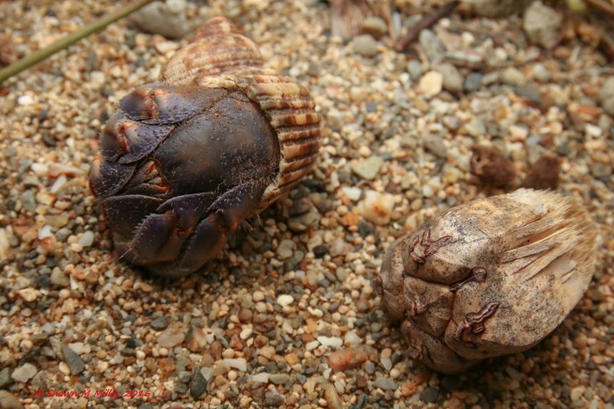 Hermit crab and screw pine seed