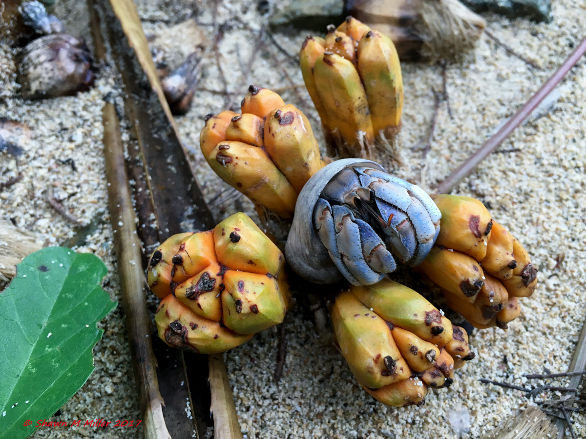 Hermit crab and Pandanus