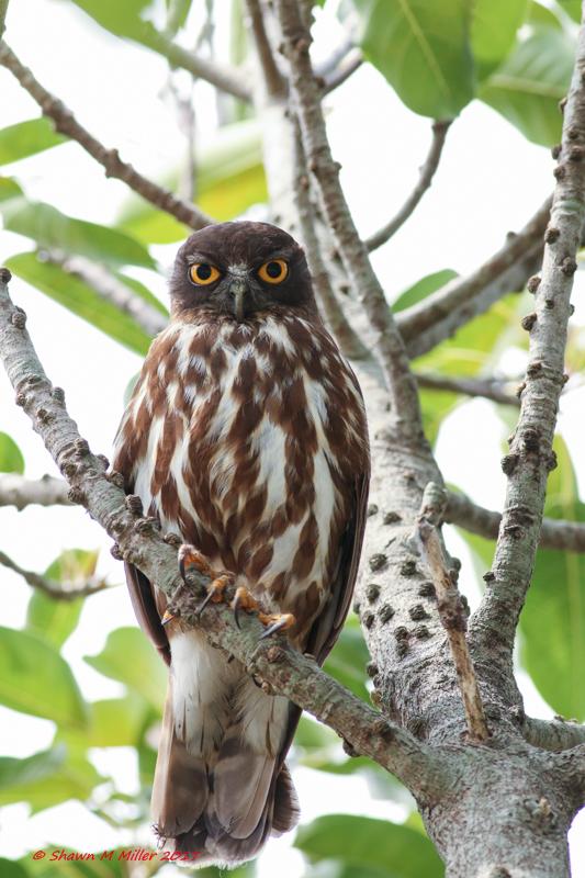The Ryukyu hawk owl