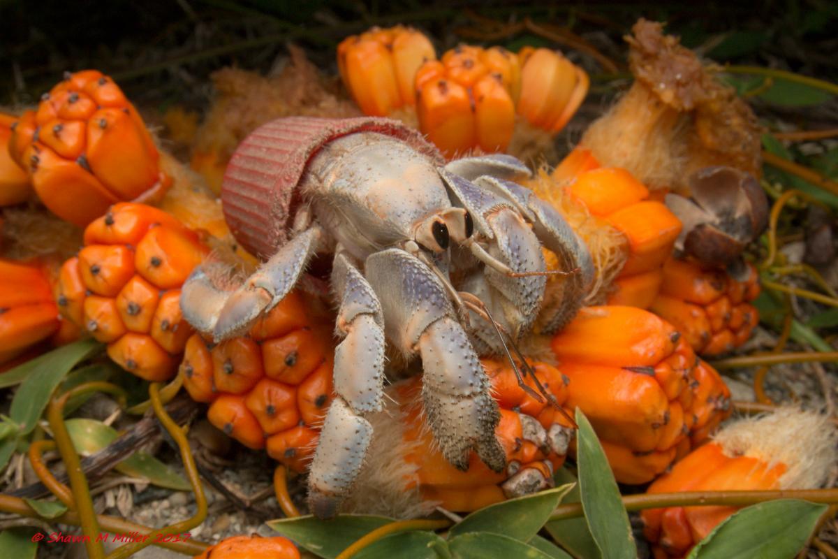 Hermit crab feeding