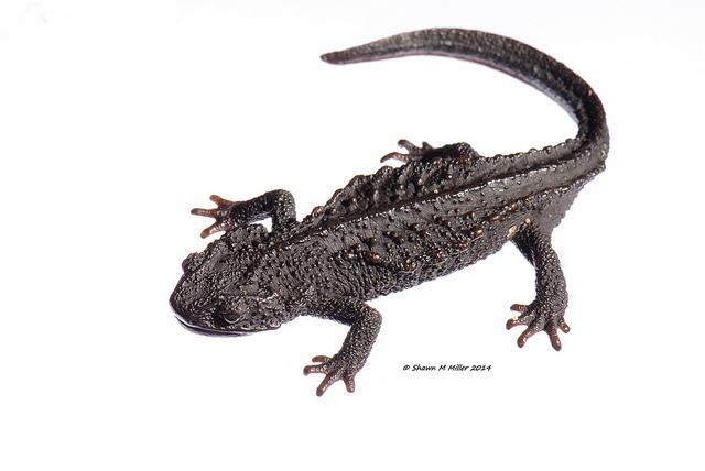Anderson's crocodile newt