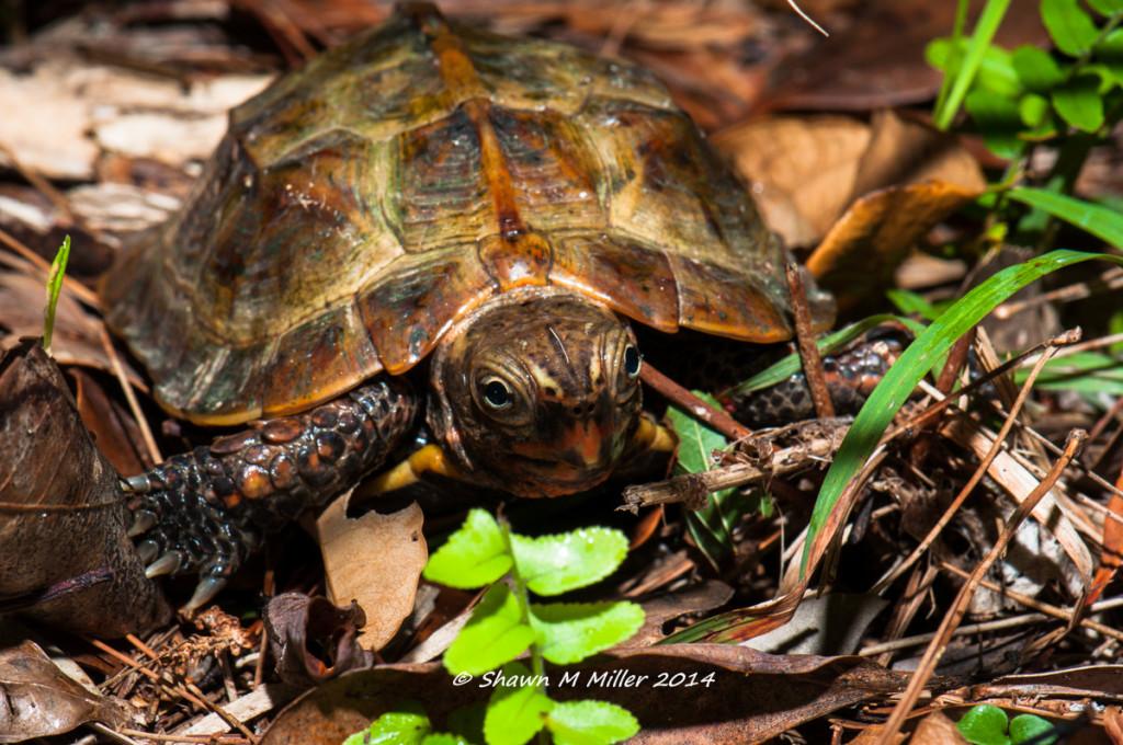 Ryukyu black-breasted leaf turtle (Geoemyda japonica)