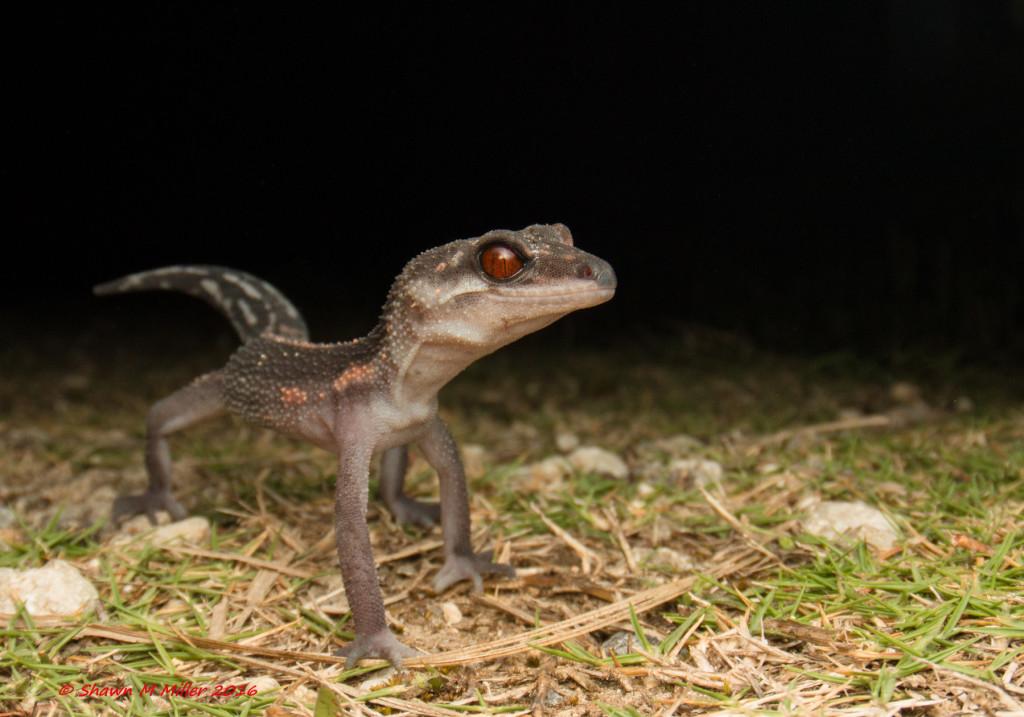 Ground gecko -WAM