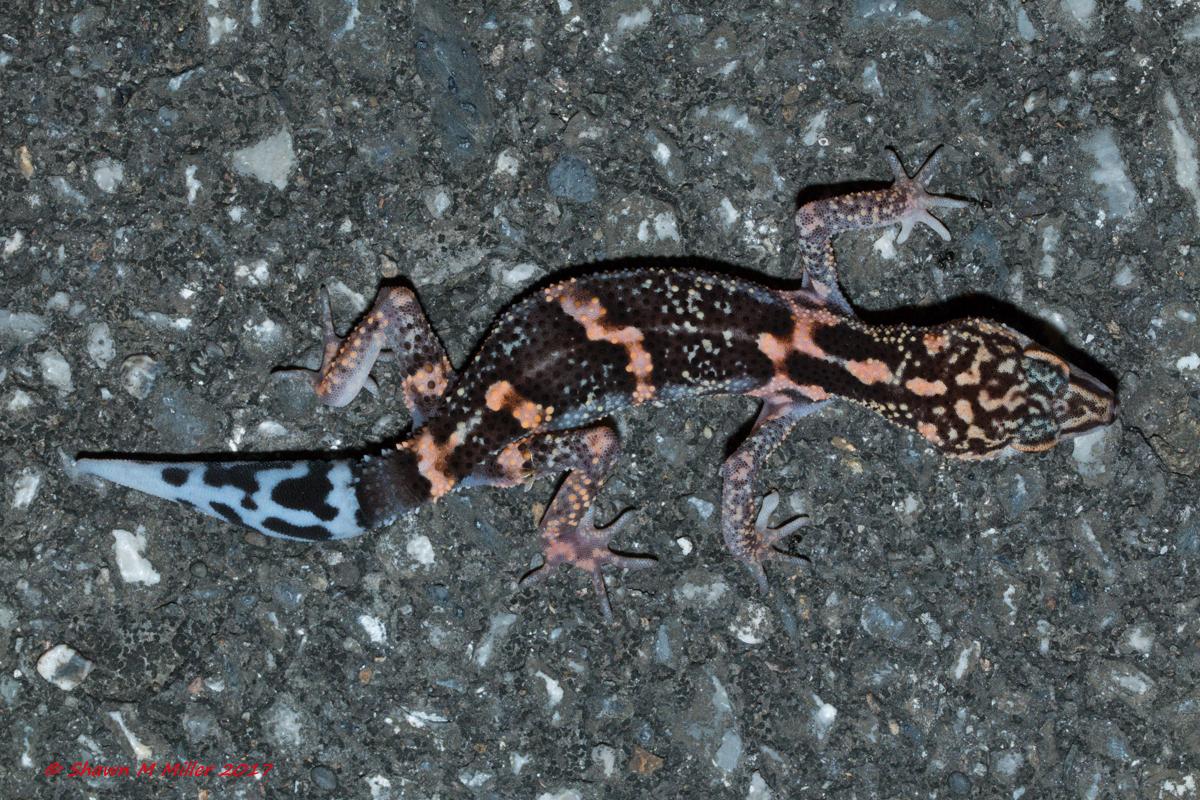 Kuroiwa's ground gecko