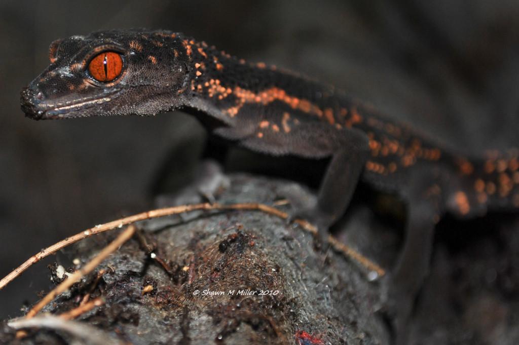 1st Ground Gecko