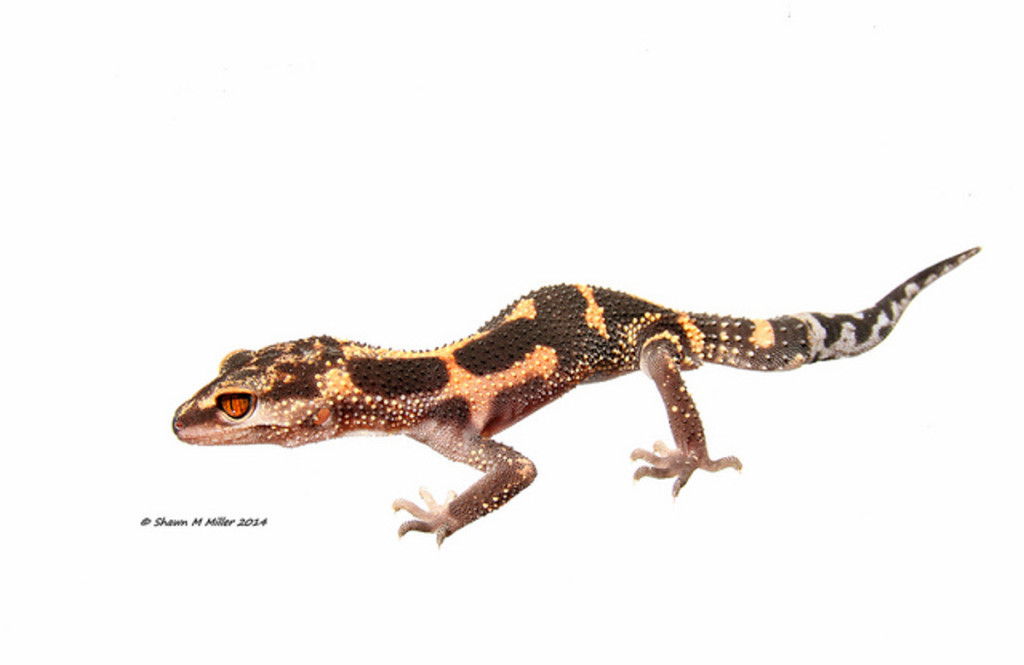 Kuroiwa's Ground Gecko -MYN