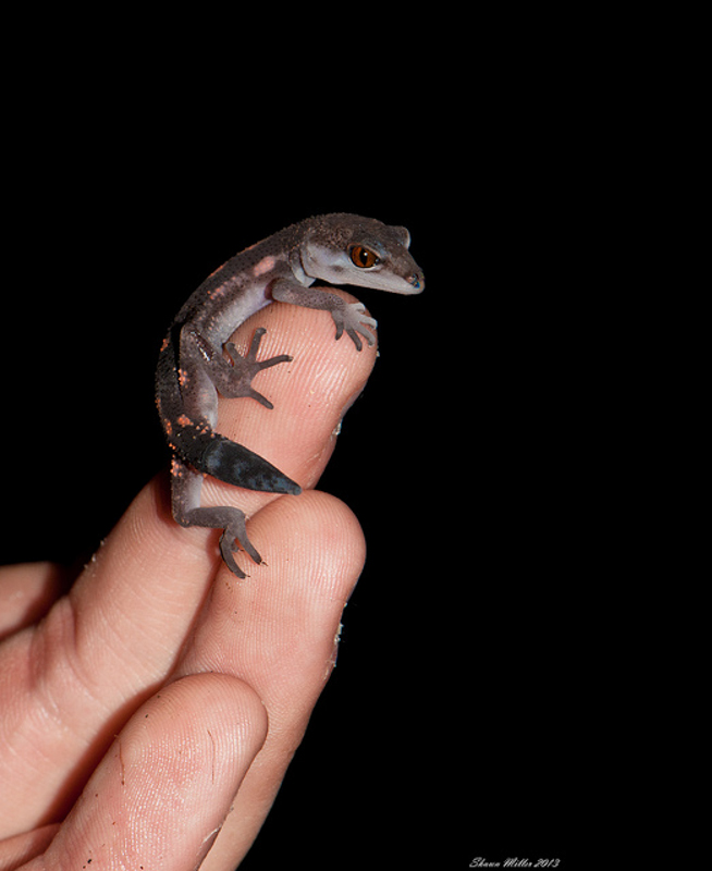 Juvenile Ground gecko