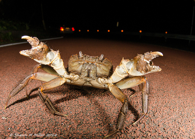 Land crab crossing the road  at night