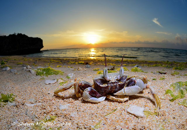 Horn-eyed ghost crab at sunset