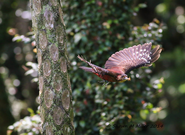Pryer's woodpecker in flight