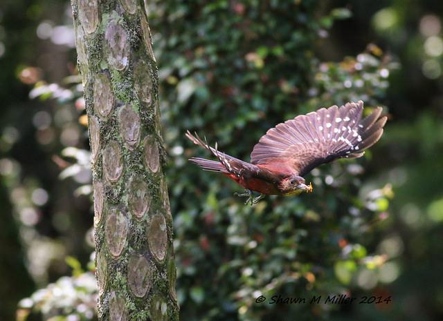 Pryer's woodpecker in flight