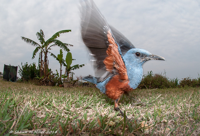 Blue rock-thrush with wings spread