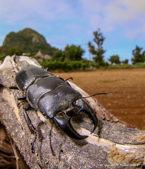 Giant stag Beetle (Dorcus titanus)