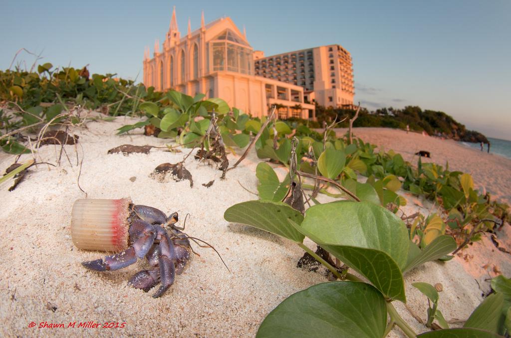 Crabs with trash homes-Yomitan