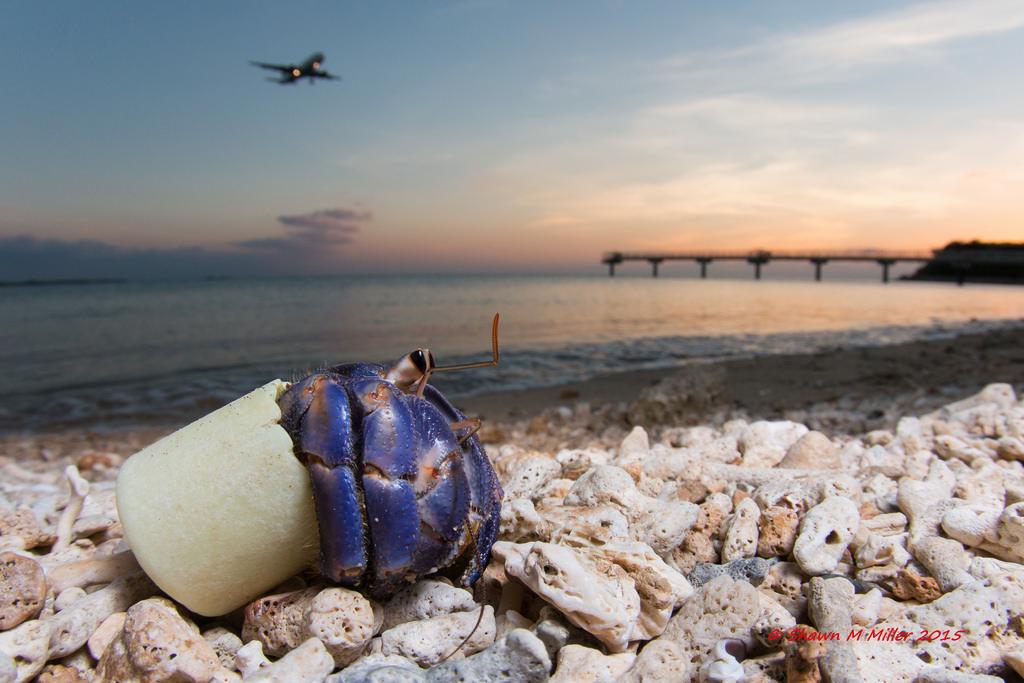 Crabs with trash homes - Sesoko