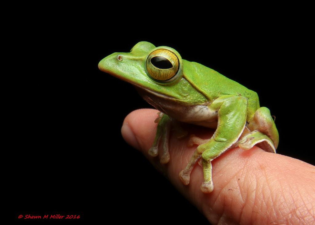 Okinawan green tree frog