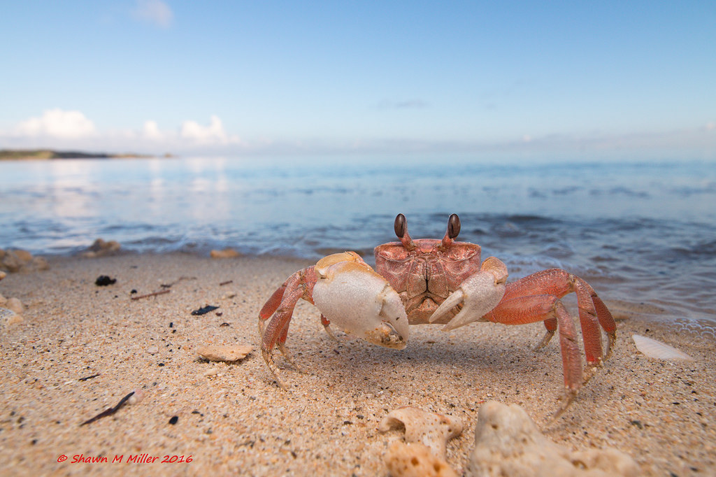 Ghost crab - Nagahama beach