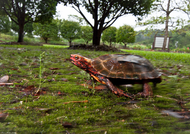 on the move- Black-breasted leaf turtle