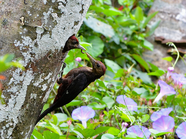 Pryer's woodpecker feeding chick