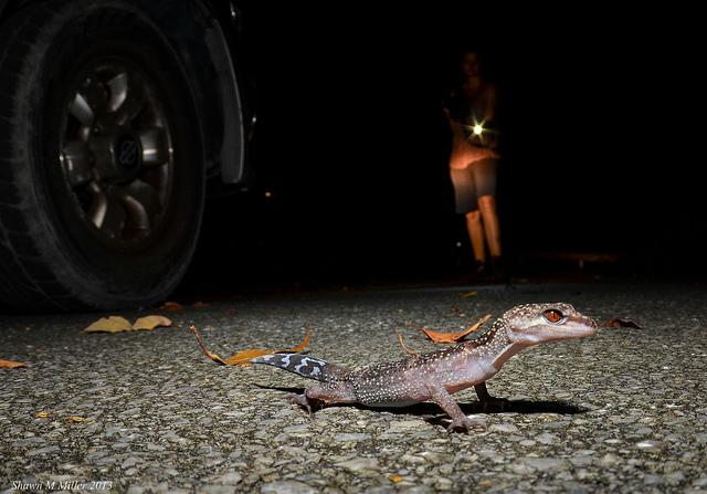 Kuroiwa's ground gecko crossing the road
