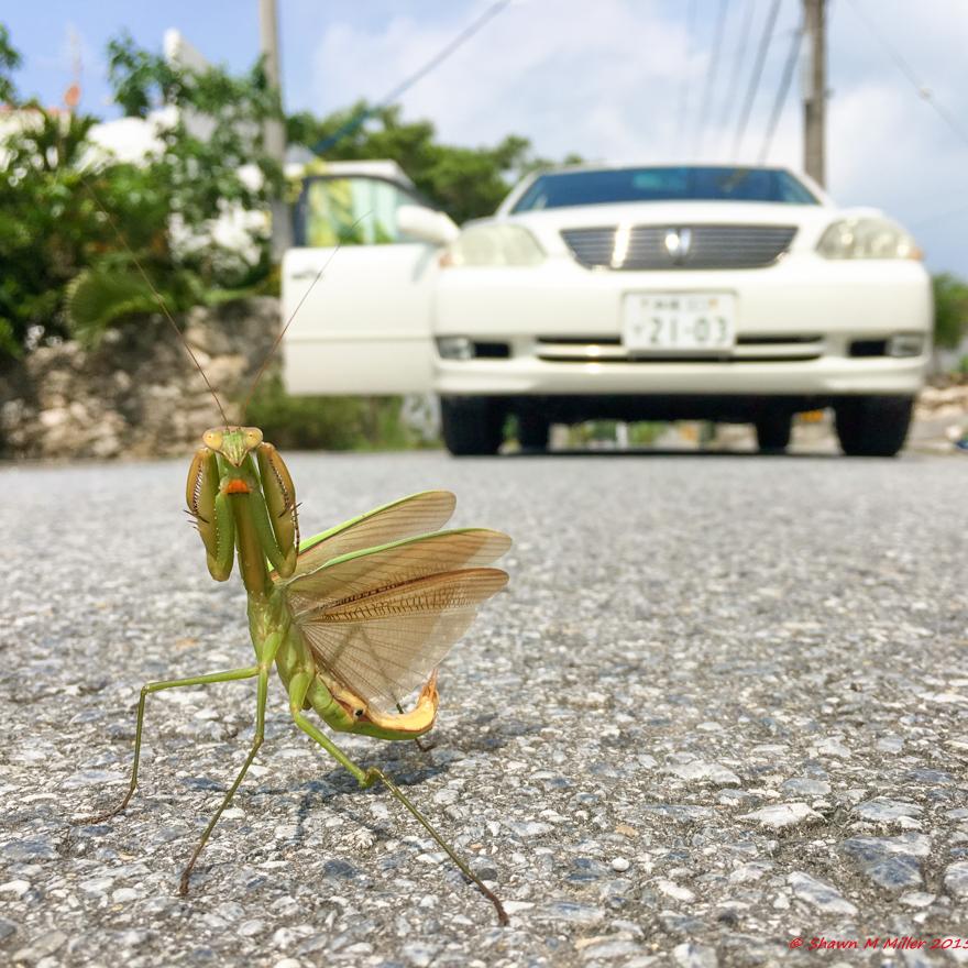 Fighting pose - Preying mantis, IPhone 6s