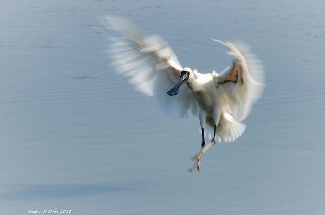 Th Black-faced spoonbill -landing