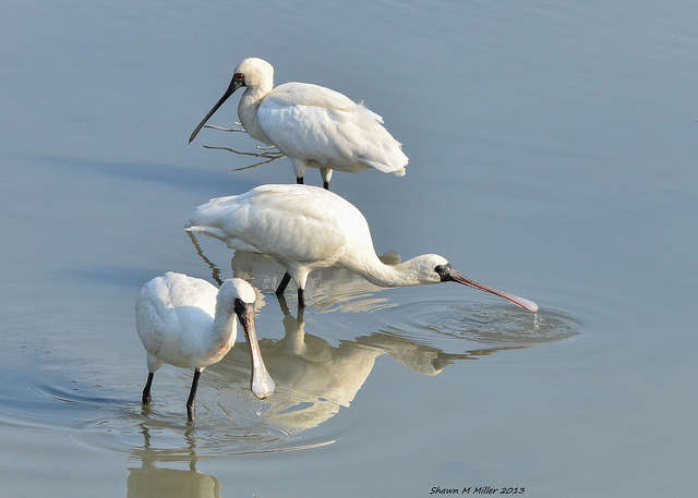 The beautiful Black-faced spoonbill