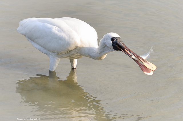 The Black-faced spoonbill-hunting