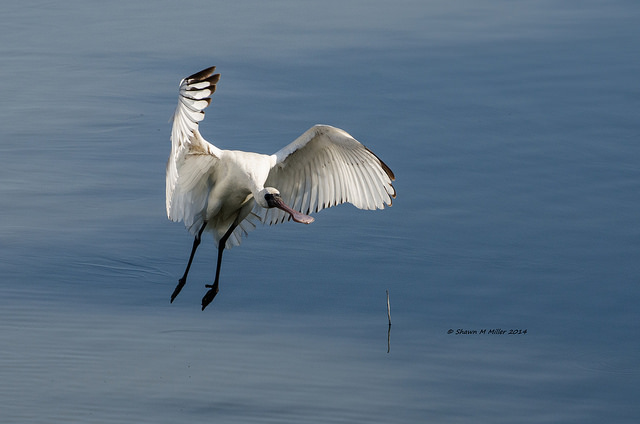 The Black-faced spoonbill in flight